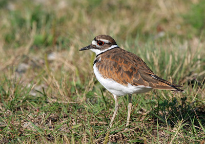 """Faithfully leading predators away from the nest--I tried for 10 minutes or more to get this Killdeer to do the """"broken wing"""" act.  Apparently I wasn't close enough to the next as he (or she) wouldn't do it.  I had to be careful because they don't next in trees.  This one was on the edge of a gravel parking lot.  If anyone uses a flash frame (like Stroboframe) to elevate their flash above camera, please contact me.  Thanks.  Have a blessed day."""