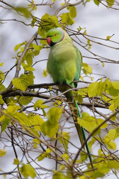 Monk parakeet<br /> Hyde Park, London, England