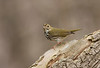Ovenbird - April 2008