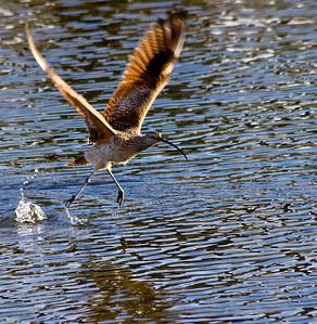Candlestick Bird Taking Off