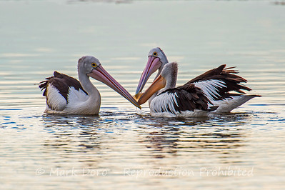 Three Australian Pelican's fighting over food, Altona, Victoria