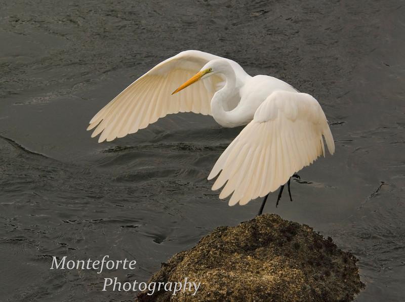 Great Egret, Ardea alba landing on rock, Monterey California