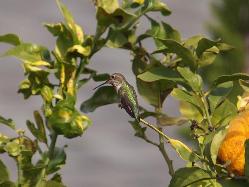 Anna's Hummingbird - 11 Jan 2011