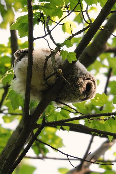 Barred owlet<br /> Fairfax County, Virginia