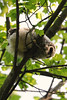 Barred owlet<br /> Fairfax County, Virginia