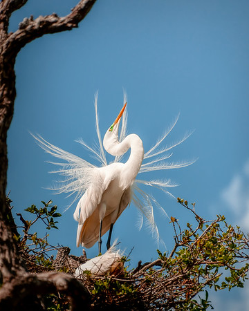 'Egret in Breeding Plumage'