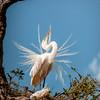 'Egret in Breeding Plumage'