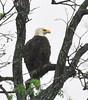 Llano Eagle