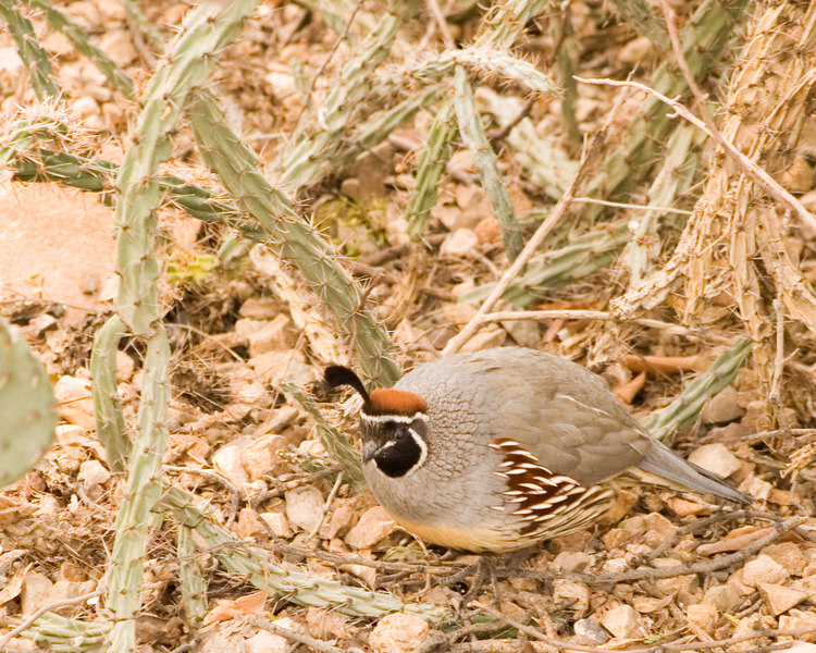 Gambel's Quail {Callipepla gambelli} <br /> Desert Museum Tucson AZ <br /> © WEOttinger, The Wildflower Hunter - All rights reserved<br /> For educational use only - this image, or derivative works, can not be used, published, distributed or sold without written permission of the owner.