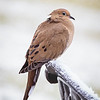 2018 November 25 Winter Dove