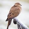 2018 November 25 Winter Dove