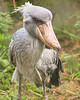 African Shoebill Stork {Balaeniceps rex}<br /> Jurong Bird Park <br /> Singapore <br /> © WEOttinger, The Wildflower Hunter - All rights reserved<br /> For educational use only - this image, or derivative works, can not be used, published, distributed or sold without written permission of the owner.