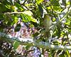 Hooded Oriole chick (Icterus cucullatus)