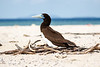 Brown Booby on the nest at Michelmas Cay, Great Barrier Reef