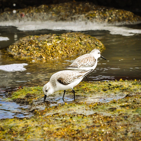 Sandpipers foraging on the Coquina Rocks
