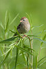 Field Sparrow - Oak Openings Metropark - June 2007