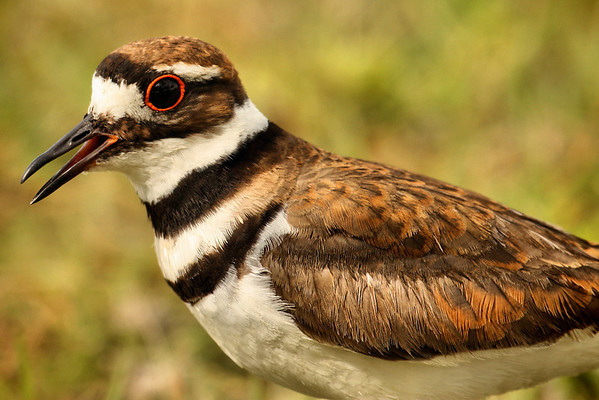 Close-up of a killdeer (Charadrius vociferus) giving me a little peep (2009_06_03_021880)