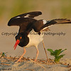 American Oystercatcher  This photograph is protected by the U.S. Copyright Laws and shall not to be downloaded or reproduced by any means without the formal written permission of Bob Arkow Photography.