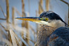 Blue Heron on the Nisqually Delta wetlands