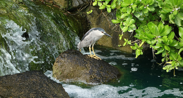 Black Crowned Heron