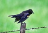 Male Tri-Colored Black bird sings out in the early morning meadow