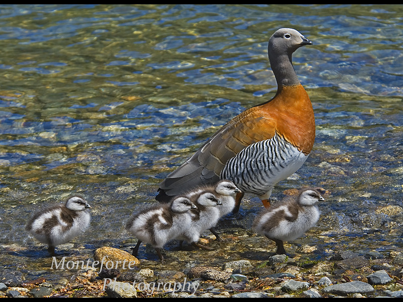 Ashey headed Goose, Chloephaga poliocephala, with Chicks, Lago Bertrand, Chile