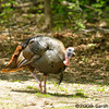 male Wild Turkey<br /> West Oshtemo, Kalamazoo County, Michigan<br /> May 2009