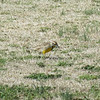 An Eastern Meadowlark