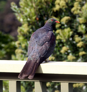 Kererū (New Zealand Wood Pigeon) - 9 February 2010.