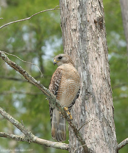 Red Shouldered Hawk - Corkscrew Swamp Sanctuary