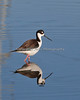 Black-necked Stilt    (4/12/2014)
