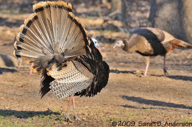 male Wild Turkey struttin for the ladies<br /> <br /> West Oshtemo, Kalamazoo County, Michigan<br /> April 2009