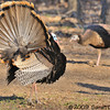 male Wild Turkey struttin for the ladies<br /> <br /> West Oshtemo, Kalamazoo County, Michigan<br /> April 2009