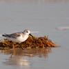 Sanderling in Sea Weed