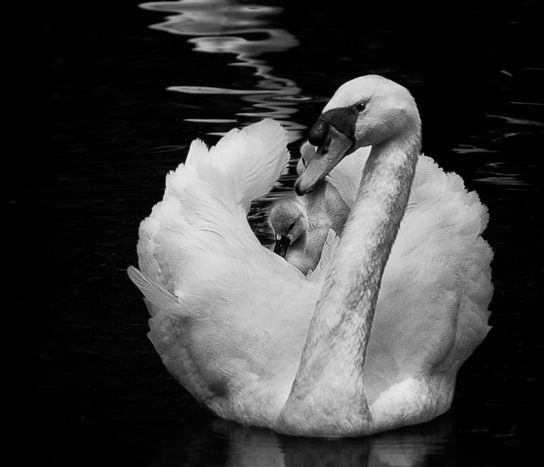"""""""Protective Parent""""<br /> <br /> Digital Monochrome Image of the Year 2011, Spring Hill Camera Club"""