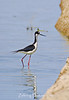 A black necked stilt combing the shoreline for morning snack.