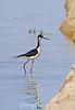 A black necked stilt combing the shoreline for morning snack.