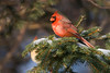 Cardinal - February 2009