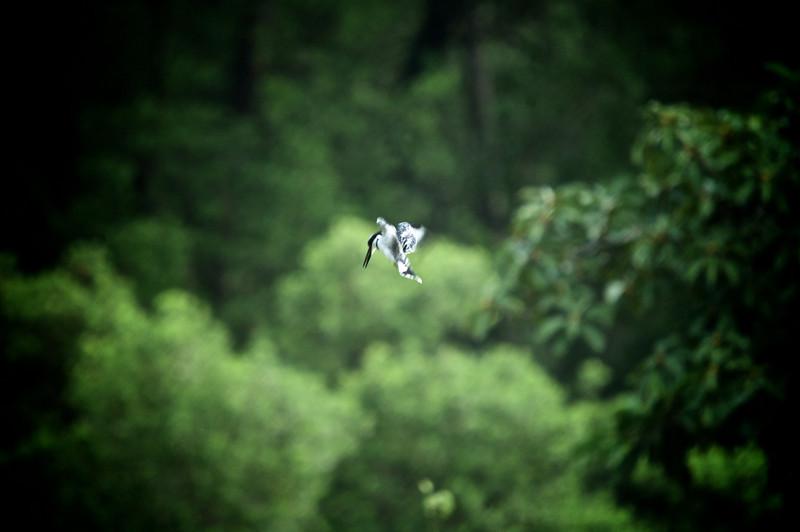Pied Kingfisher (Ceryle rudis)<br /> Near Mombasa, Kenya<br /> IUCN Status: Least Concern