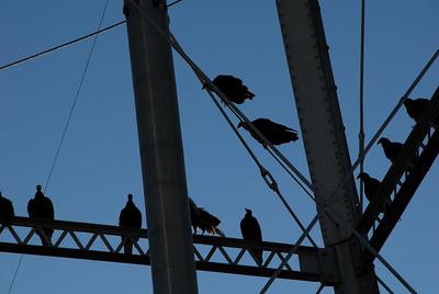 Turkey Vultures - Marion, Kansas - 2011