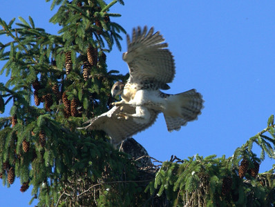Young Red Tail Hawk, getting ready to fly