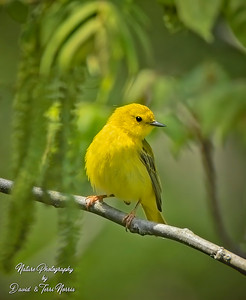 yellow warbler 120A5982