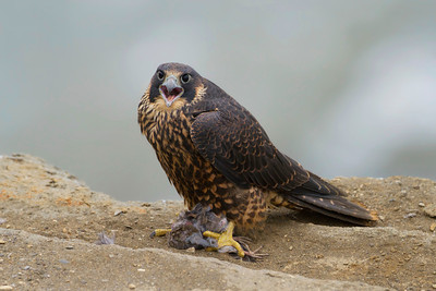 Peregrine Falcon with remains of a dove