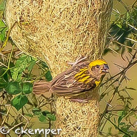 Weaver Bird2