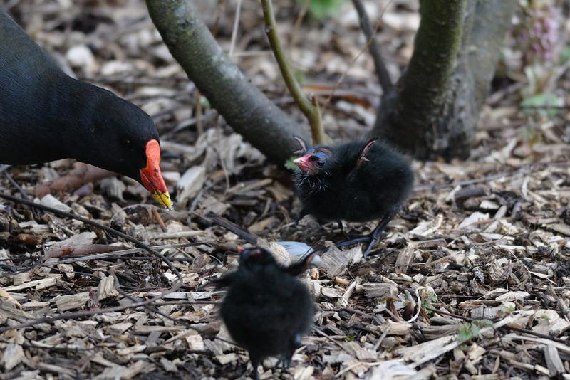 Moorhen with chicks<br /> London Wetland Centre, London, England