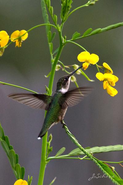 IMAGE: http://jschove.smugmug.com/Nature/Birds/i-D5C67Zr/0/L/Hummingbird_4366-L.jpg