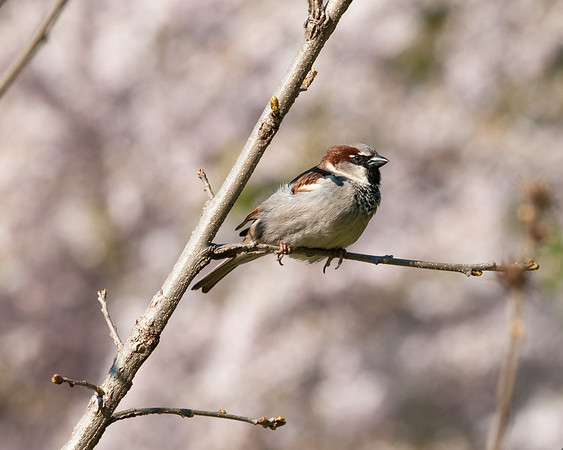 House Sparrow, Toronto