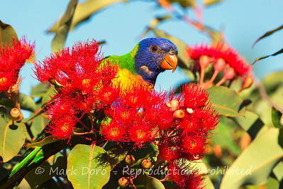 Rainbow Lorikeet feeding in the gum blossom, Williamstown, Victoria