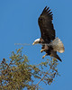 Female Bald Eagle coming in for a landing - Milpitas - 10Apr2017