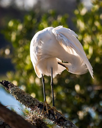 Snowy Egret Doing Some Required Maintenance
